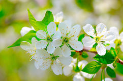 Sprig of flowering cherry blossoms Stock Image
