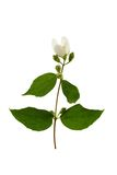 Sprig of flowering jasmine. Royalty Free Stock Photography