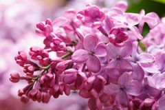 Sprig of flowering lilac pink flowers and buds close up Stock Image