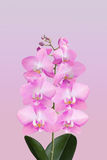 Sprig of flowering orchid Stock Photos