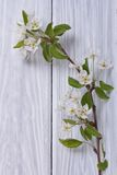 Sprig of flowering pear Royalty Free Stock Photos