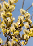 Sprig  flowering willow against the blue sky Stock Photography
