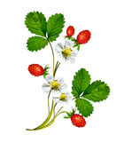 Sprig of flowers strawberries Royalty Free Stock Photo