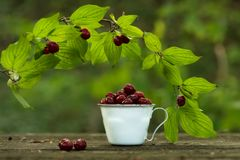 Cup with dogwood Córnus mas royalty free stock image