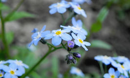 Sprig of Forget-me-nots Stock Photos