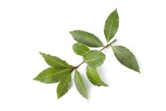 Sprig of fresh bay leaves Royalty Free Stock Images