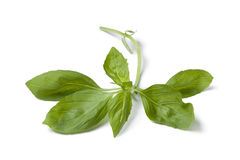 Sprig of fresh green basil Stock Image