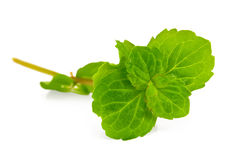 Sprig of fresh green mint Stock Photo