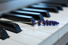 Sprig of fresh lavender on the piano keys.  stock photo