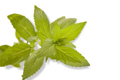 Sprig of fresh mint Stock Photo
