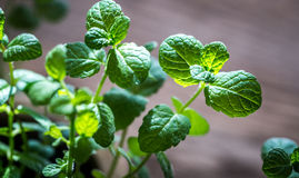 Sprig of fresh mint. On the light background Stock Images