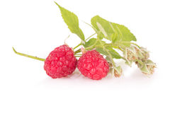 Sprig of fresh raspberries.  Royalty Free Stock Photography