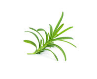 Sprig of fresh rosemary Royalty Free Stock Photography