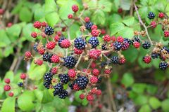 Sprig of fruit on blackberry bush. A bunch of ripe and unripe blackberries on a bush in England royalty free stock photo