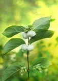 Sprig with the fruits of snowberry Royalty Free Stock Photo