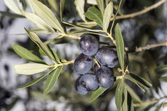 A sprig full of ripe black olives Stock Photos