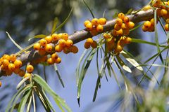 Sea buckthorn. royalty free stock photography
