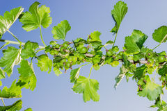 Sprig of gooseberry Royalty Free Stock Image