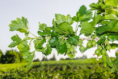 Sprig of gooseberry Stock Photography