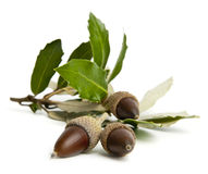 Sprig of green acorns on a white background Stock Images