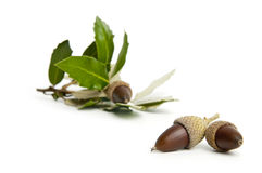 Sprig of green acorns on a white background Stock Photography