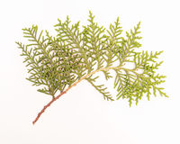 Sprig of green arborvitae. Photo arborvitae branch on a white background Royalty Free Stock Photography
