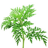 A sprig of green Royalty Free Stock Photo