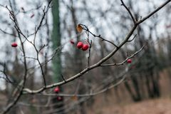 Sprig of hawthorn in late autumn stock photo