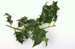 Sprig of holly. Isolated on white background Royalty Free Stock Photography