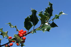 Sprig of Holly. With red berries against on a blue sky Stock Photos