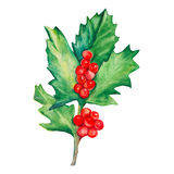 Sprig of holly isolated on a white background. Holly with red berries. Watercolor illustration Royalty Free Stock Photo