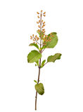 Sprig of Holy Basil Tulsi isolated Stock Image