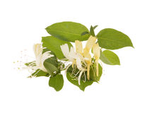 Sprig of honeysuckle. With white flowers and green leaves isolated on white background royalty free stock image