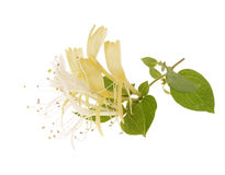 Sprig of honeysuckle Stock Photos