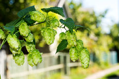 Sprig of hops against the sky, Royalty Free Stock Photo