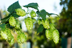 Sprig of hops against the sky, Stock Images