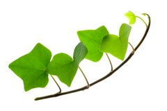 Sprig of Ivy Royalty Free Stock Photos