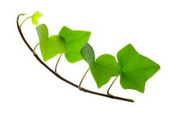 Sprig of Ivy Royalty Free Stock Images
