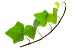 Sprig of Ivy Royalty Free Stock Photography