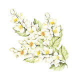 The sprig of Jasmine. Hand draw watercolor illustration.  Royalty Free Stock Images