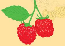 Sprig of juicy raspberries. Royalty Free Stock Photos