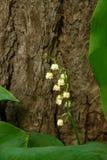 Sprig kwiatonośna leluja dolina z liśćmi blisko drzewa w parku w cieniu zdjęcia royalty free
