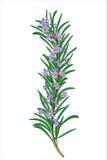 Sprig kwiatonośni rozmaryny Obrazy Royalty Free