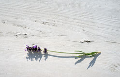 A sprig of lavender on a white wooden surface Stock Image