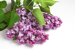 Sprig of lilac Royalty Free Stock Photos