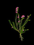 Sprig of lucky purple heather, isolated on black. Royalty Free Stock Image