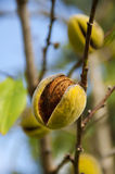 Sprig with mature almond, close up. Shallow depth of field Stock Photos