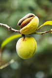 Sprig with mature almond, close up Royalty Free Stock Photos