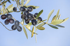 Sprig with mature black olives against the sky Royalty Free Stock Images