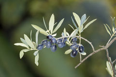 Sprig with mature black olives Stock Images